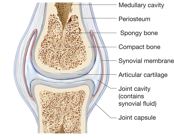 what is the synovial membrane: functions, synovial fluid and problems -  scope heal